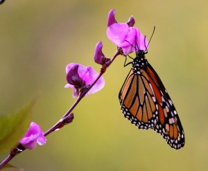 monarch_butterfly_wings_flying_insect
